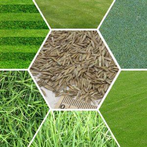 Газоні трави